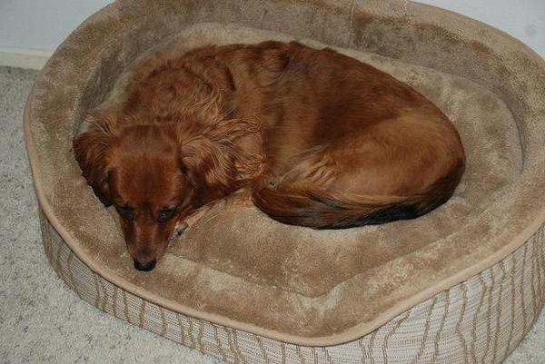 hundebetten-günstig-moderne-gestaltung - hund in braun