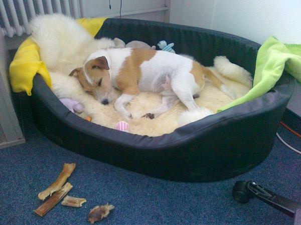 orthopädisches-hundebett-niedlich-aussehen - ein hund schläft darauf
