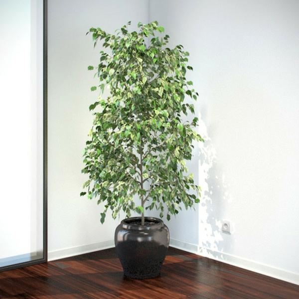 Ficus Benjamina In Der Ecke Im Topf Pflegen