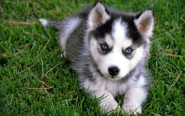 Siberian-Husky-schöne-tierbilder- wunderbare blaue augen