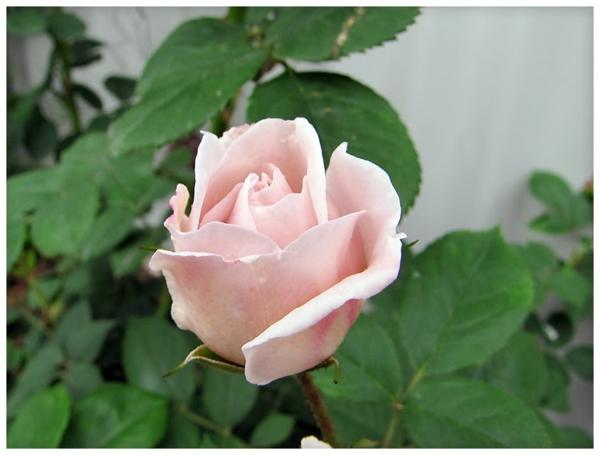 altrosa-wandfarbe-rose