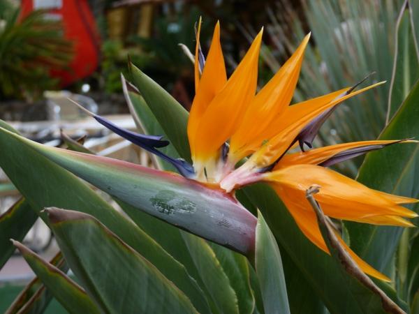 außergewöhnliche-zimmerpflanzen-strelizien-orange-farbe