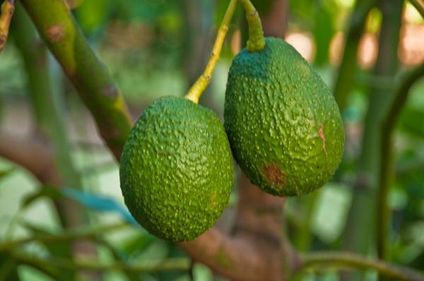 avocado-anpflanzen-Avocados