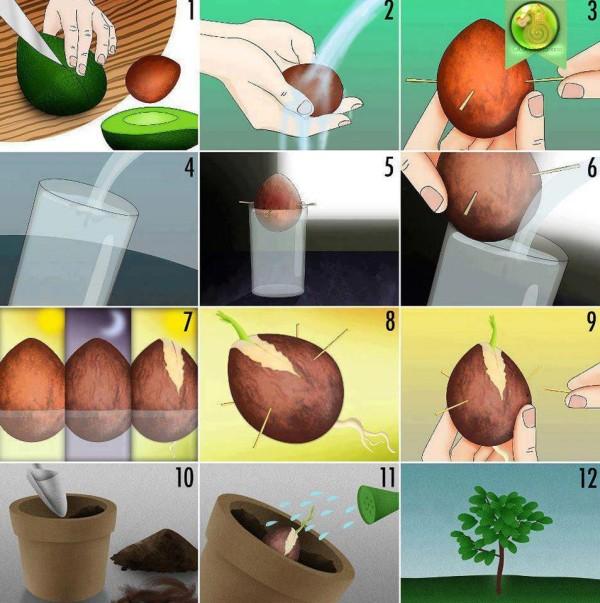 avocado-anpflanzen-anleitung