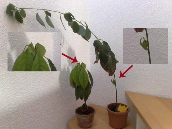 avocado anpflanzen nicht schwer