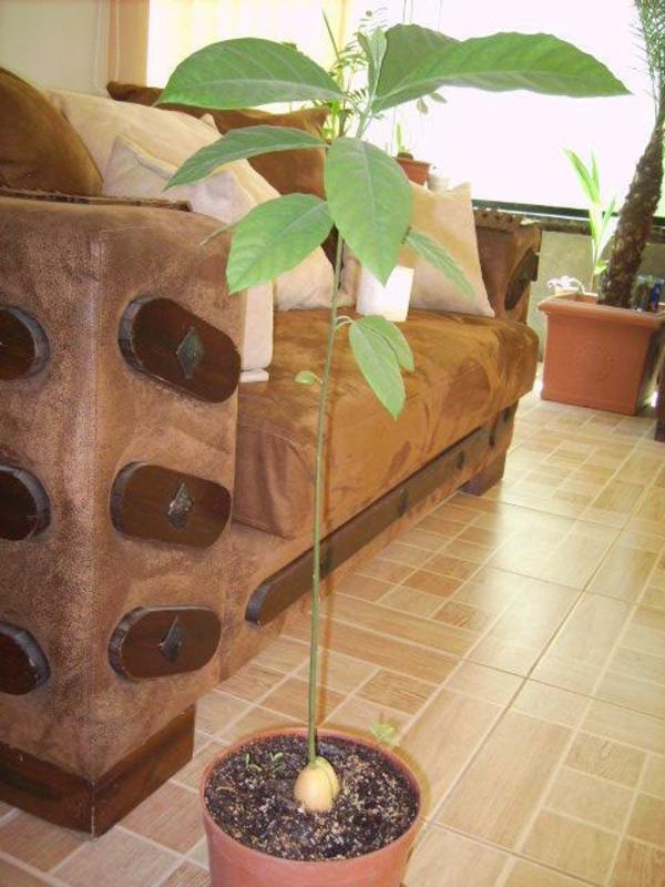 avocado-anpflanzen-baum-topf