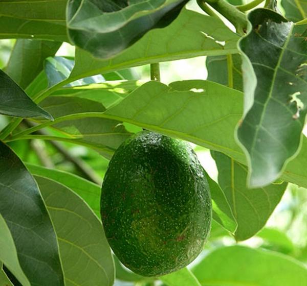 avocado-zimmergrünpflanzen-mit-früchen-persea americana