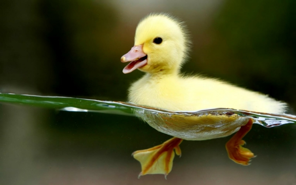 ein-gelbes-entlein-schöne-tierbilder- schwimmt im wasser