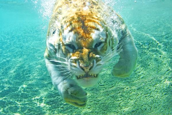 ein-tiger-schwimmt-unter-wasser-sch%C3%B