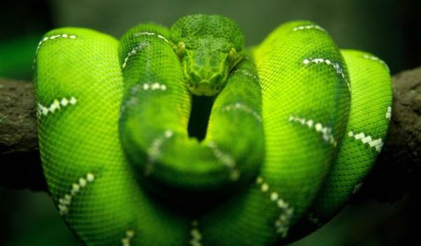 eine-grüne-schlange-schöne-tierbilder- super cooles foto