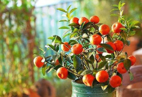 exotische-zimmerpflanzen-mit-früchten-mandarine-im-hause