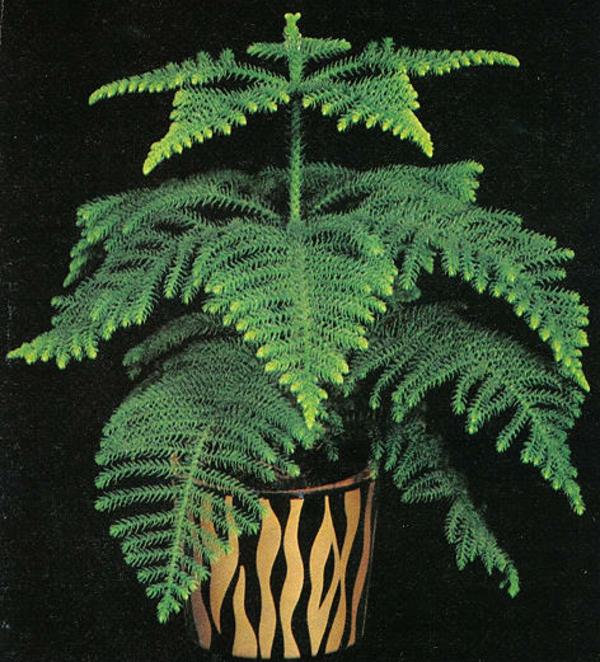 exotische-zimmerpflanzen-zimmertanne-grüne-blätter-im-topf