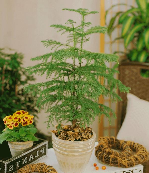 grüne-außergewönliche-zimmerpflanzen-zimmertanne
