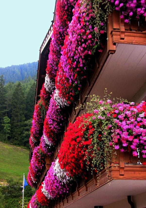 hängende-balkonpflanzen-blume-in-Trentino-South-Tyrol-Italy