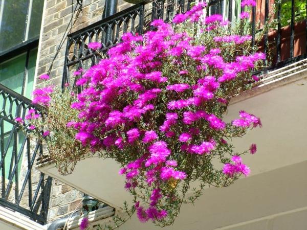 hängende-balkonpflanzen-rosa