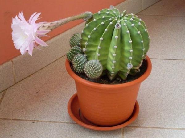 kaktus-in-einem-kleinen-topf- blüte in rosiger farbe