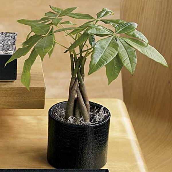 nach-feng-shui-einrichten-Geldbaum-wohlstand