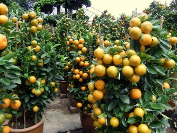 orangenbäumchen-mit-vielen-früchten-im-töpfen