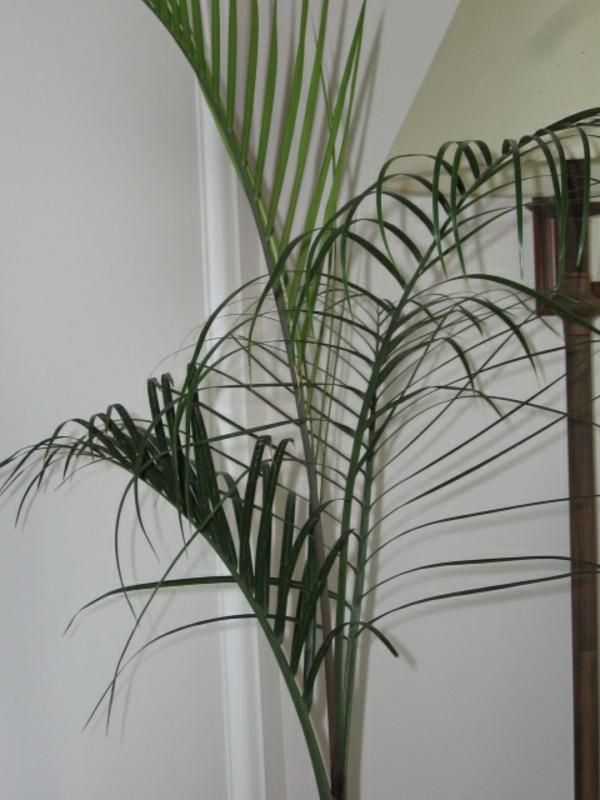 palme-zimmerpflanze-super-schön-dahinter ist eine weiße wand