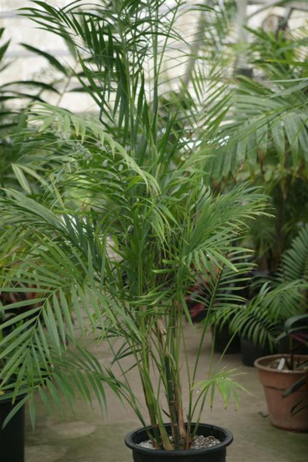 palmenarten-zimmerpflanzen-sehr-groß-schöner look