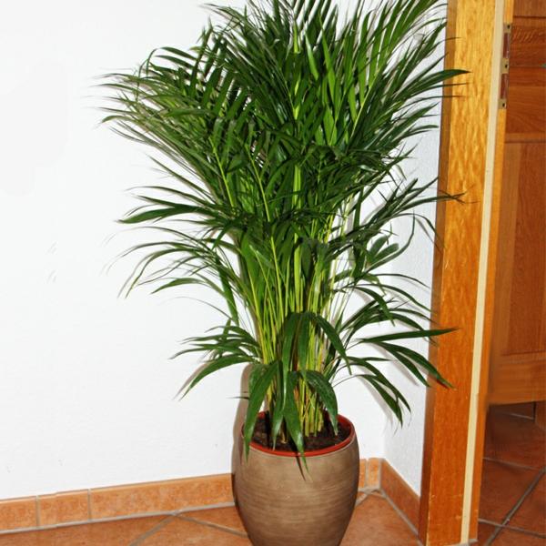 palmenarten-zimmerpflanzen-sehr-schön-aussehen-in der ecke