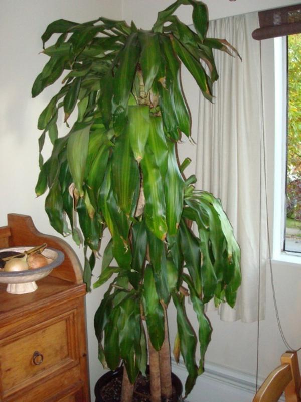 palmenarten-zimmerpflanzen-super-groß-und-schön-weiße gardinen dahinter