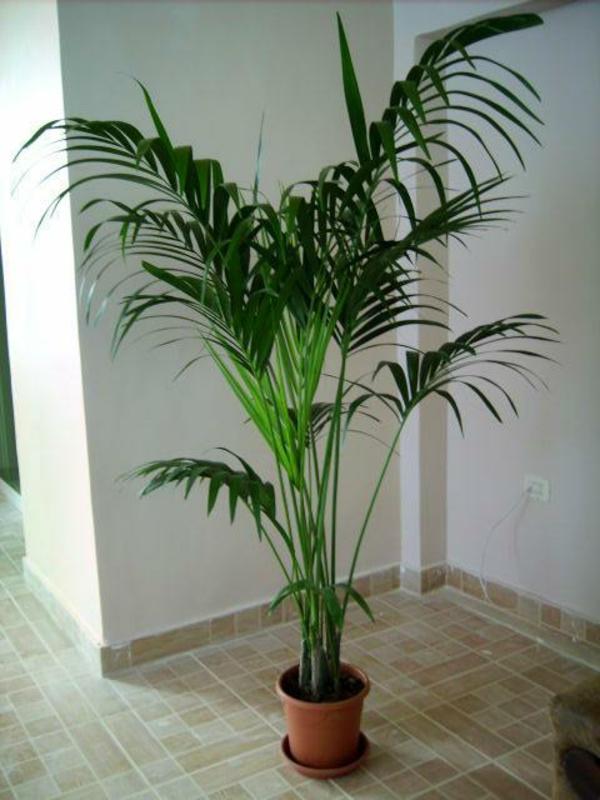 palmenarten-zimmerpflanzen-wunderschön-aussehen-weiße wand dahinter