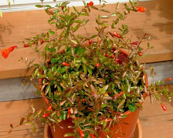 punica-granatum-tropische-zimmerpflanzen-im-topf