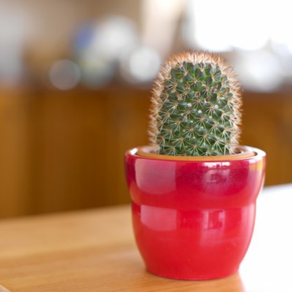 ein kaktus in einem roten topf