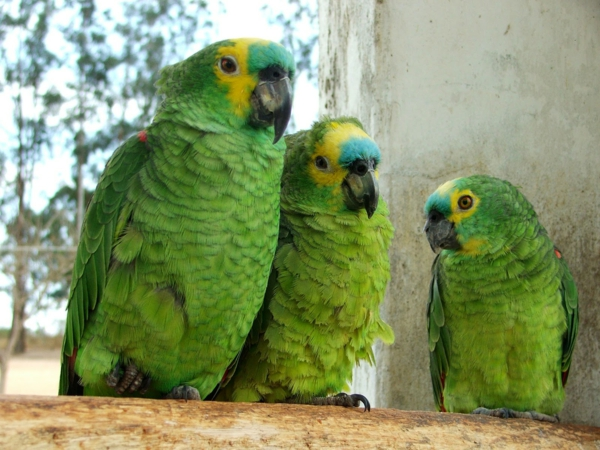 schöne-tierbilder-drei-grüne-papageien- interessantes foto