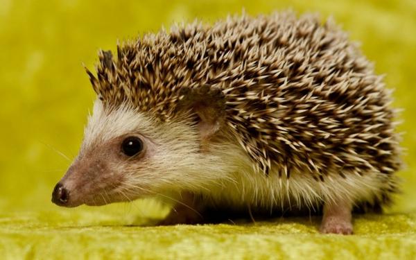 schöne-tierbilder-ein-igel- foto von nahem genommen