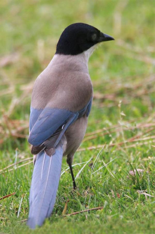 schöne-tierbilder-ein-interessanter-vogel- in schwarz, blau und grau