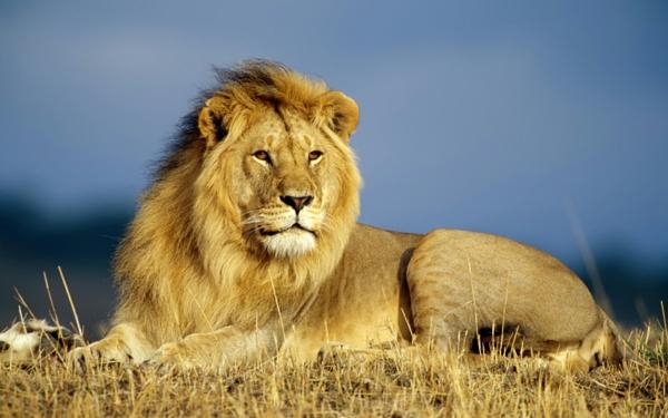 schöne-tierbilder-ein-löwe- wunderbar aussehen