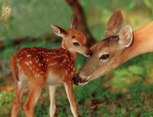 schöne-tierbilder-ein-reh-mit-dem-kleinen- foto von nahem gemacht