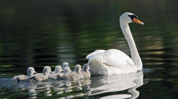schöne-tierbilder-ein-schwan-mit-den-kleinen- im wasser schwimmend