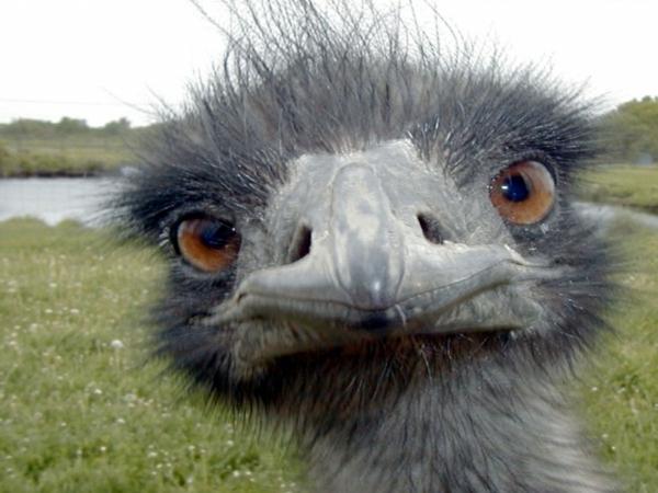 schöne-tierbilder-ein-strauß- foto von nahem genommen