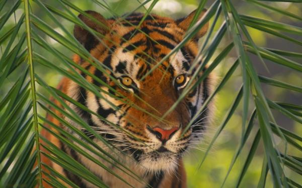 schöne-tierbilder-ein-tiger hinter den blättern