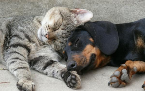 schöne-tierbilder-eine-katze-schläft-zusammen-mit-einem-hund- foto von nahem genommen