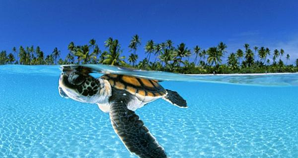 schöne-tierbilder-schildkröte- schwimmt under dem wasser