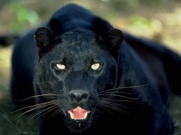 schöne-tierbilder-schwarzer-puma schaut direkt in die kamera