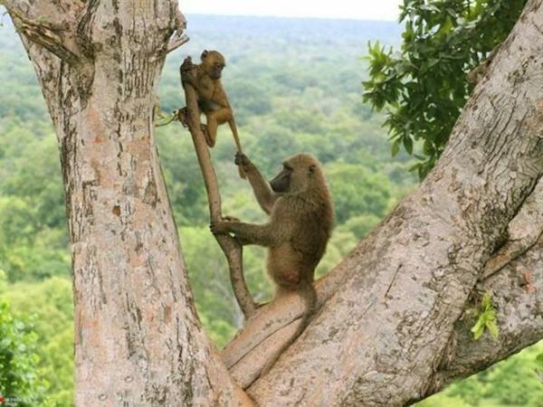 schöne-tierbilder-zwei-affen-auf-einem-baum - mutti und das baby