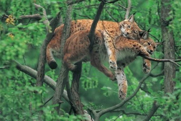 schöne-tierbilder-zwei-geparde-auf-einem-baum- grüne umgebung
