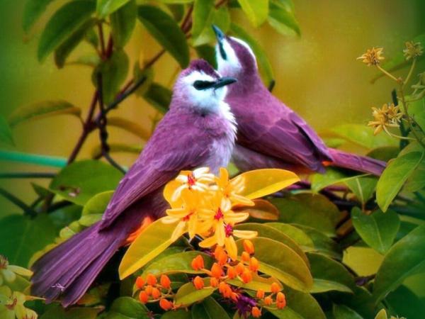 schöne-tierbilder-zwei-lila-vögel- neben gelben blüten