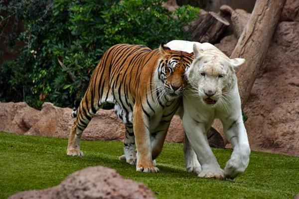 schöne-tierbilder-zwei-tigers- in verschiedenen farben