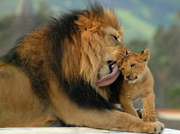 schönes-bild-von-tieren-löwen- vater und kind