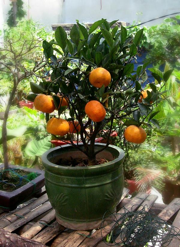 tropische-pflnazen-kleine-mandarine-im-topf