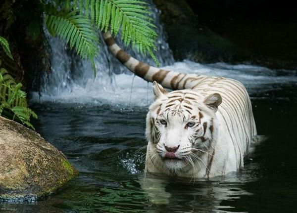 weißer-tiger-im-wasser-schöne-tierbilder- eleganter look