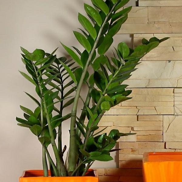 Coole Zimmerpflanzen pflegeleichte zimmerpflanzen 18 vorschläge archzine