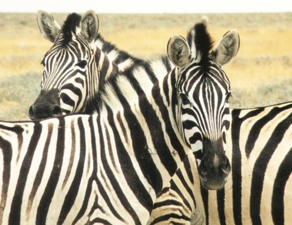 zebrafell-möbel-tiere