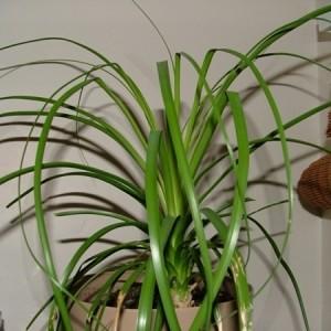 Palmenarten Zimmerpflanzen wirken sehr schön!